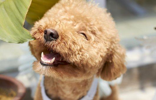 プードル 日本の人気犬